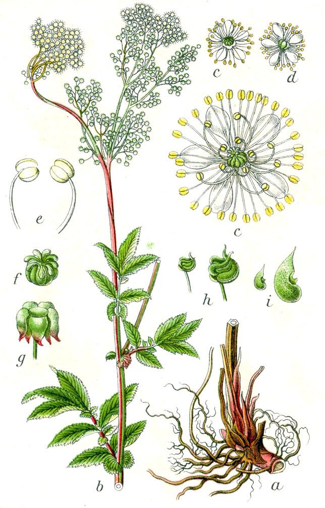 http://commons.wikimedia.org/wiki/File:Filipendula_ulmaria_Sturm12.jpg